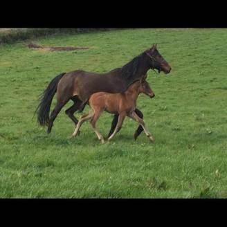 By Carrick Quidam De Revel ex Carrick Diamond Lad mare.
